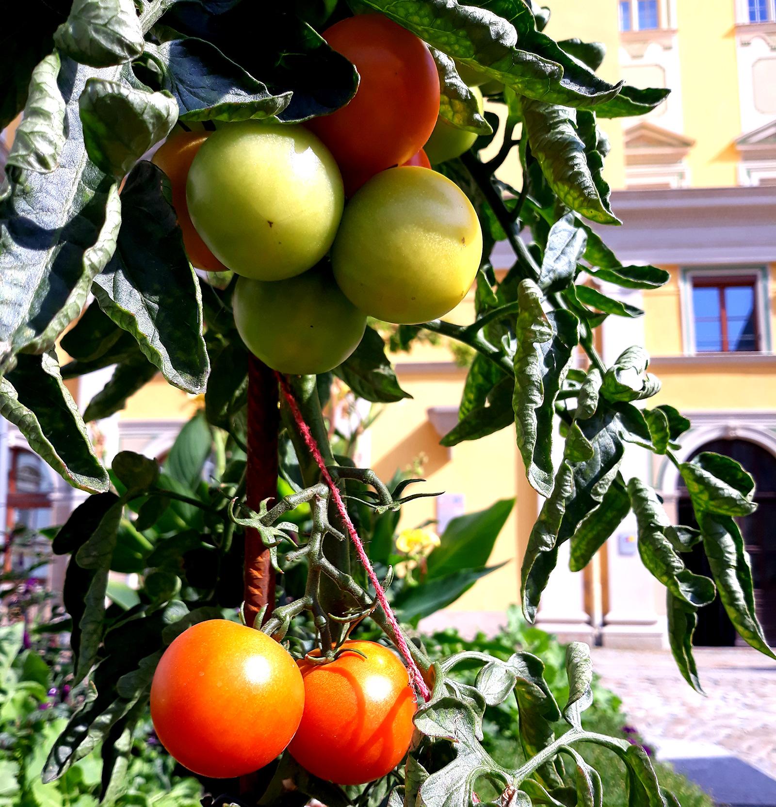 Tomtenpflanze mit zwei roten und zwei unreifen Tomaten im Hintergrund das Rathaus